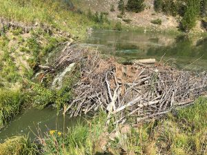 Beaver Dam Removal Planned for the Mystic Lake Outlet south of Bozeman